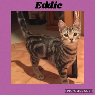 Eddie 3 month old (southern Tas cat rescue inc )