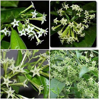 Night Blooming Jasmine Starter Plants Fragrant Flowering Cestrum Nocturnum