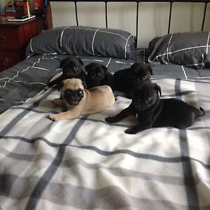 Purebred Pug Puppies Bundall Gold Coast City Preview