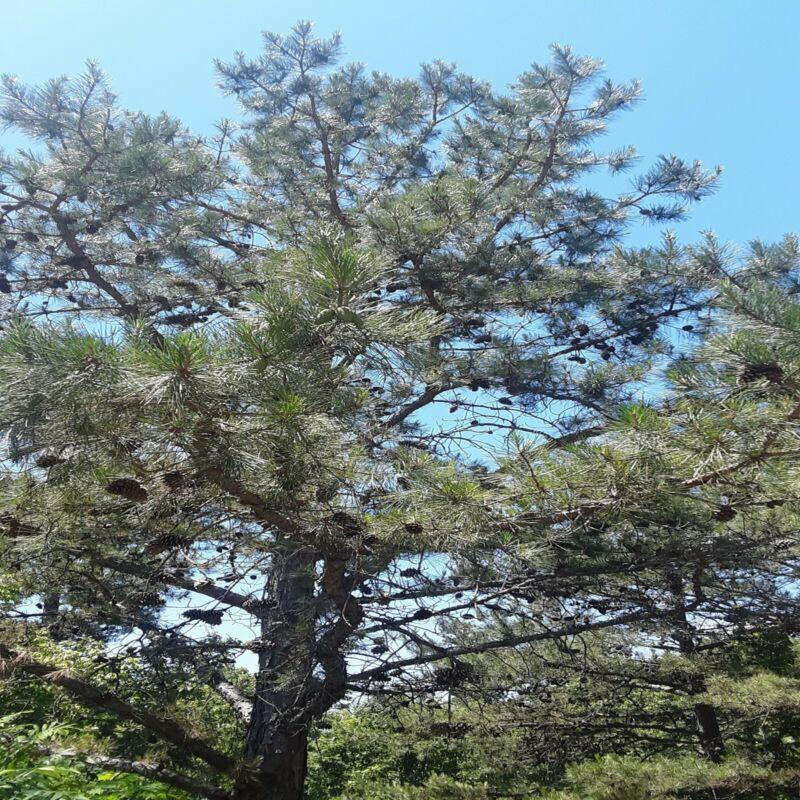 Organic Pine Needles Immune Boosting FRESH 6oz!! High vitamin C High vitamin A