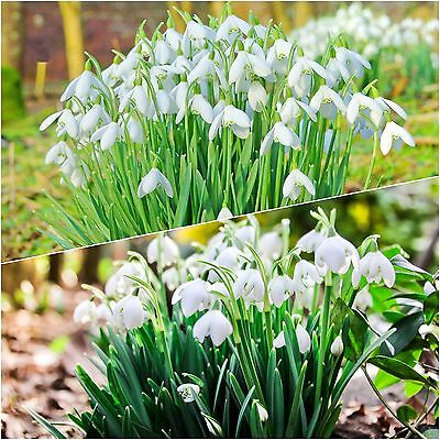 25 SINGLE & 25 DOUBLE SNOWDROP Top Quality Freshly Lifted Bulbs (In The Green)