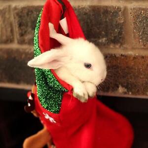 1 Baby Girl left. Purebred mini lop rabbit Bassendean Bassendean Area Preview
