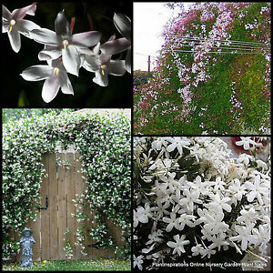 Climbing plants ebay for Fast growing climbing plants for screening