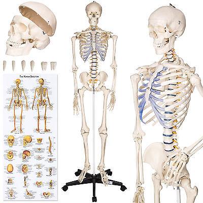 Menschliches Stativ Skelett Modell Anatomie Lehrmodell + Abdeckung + Poster