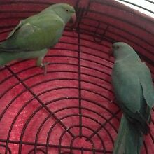 X2 Indian Ringnecks + large cage and stand Doolandella Brisbane South West Preview