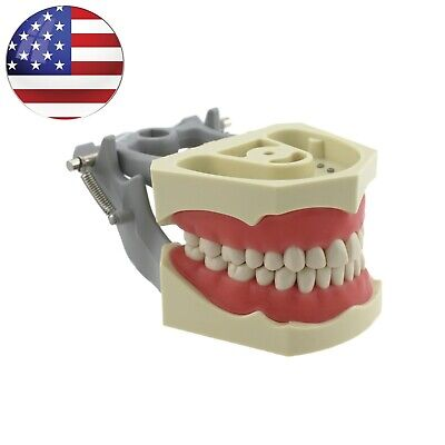 Columbia 860 Style Dental Exam Model Typodont Teeth 32 Pcs Removable Repalce Usa