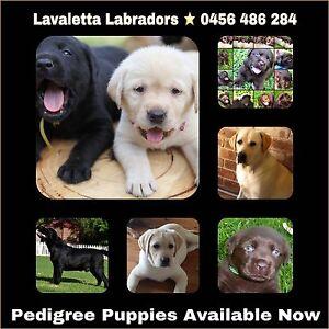 Pedigree Labrador Retriever Puppies High Quality Medowie Port Stephens Area Preview