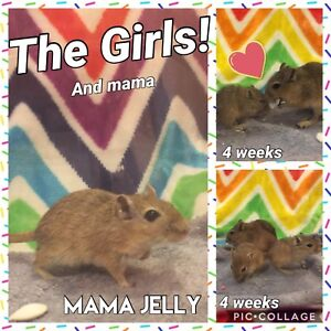 Young Gerbils + Mama Gerbil Looking for Forever Homes!!