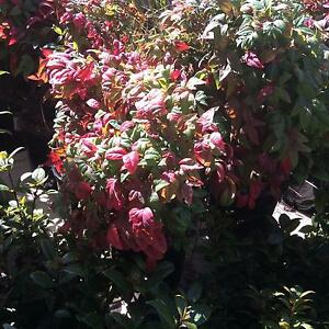 Nandina plant Golden Bay Rockingham Area Preview