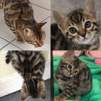 Bengal cats sydney