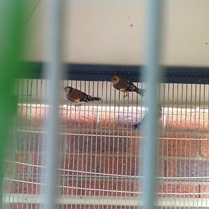 Healthy gold finches Sydenham Brimbank Area Preview