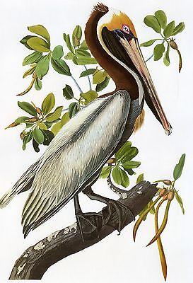 Audubon Reproductions: Birds of America - Brown Pelican - Fine Art Print