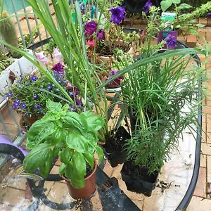 Advanced Herbs 4 pots advanced plants Grays Point Sutherland Area Preview