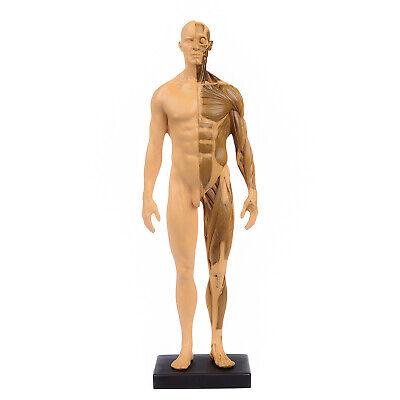 30cm Gold Human Anatomy Skull Blood Sculpture Head Body Muscle Bone Model Usa