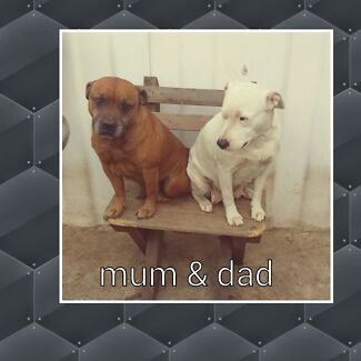staffy x bullterrier pups Camden Camden Area Preview