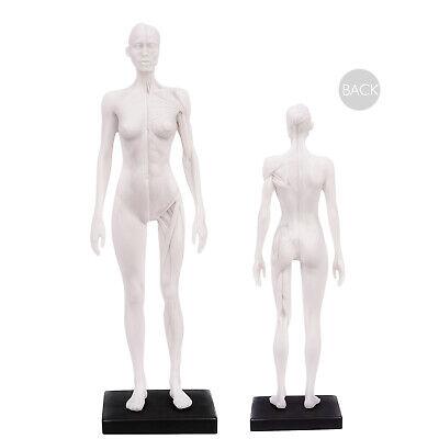 30cm Human Skeleton Anatomical Model Female Anatomy Skull Muscle Bone White