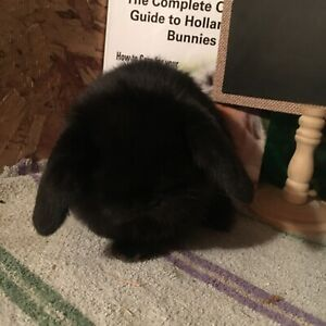 PureBred, Show Quality Holland Lop Baby Bunnys