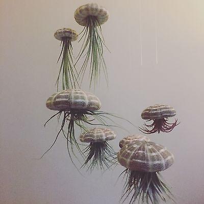 Living Art Sea Urchin air plant mobiles