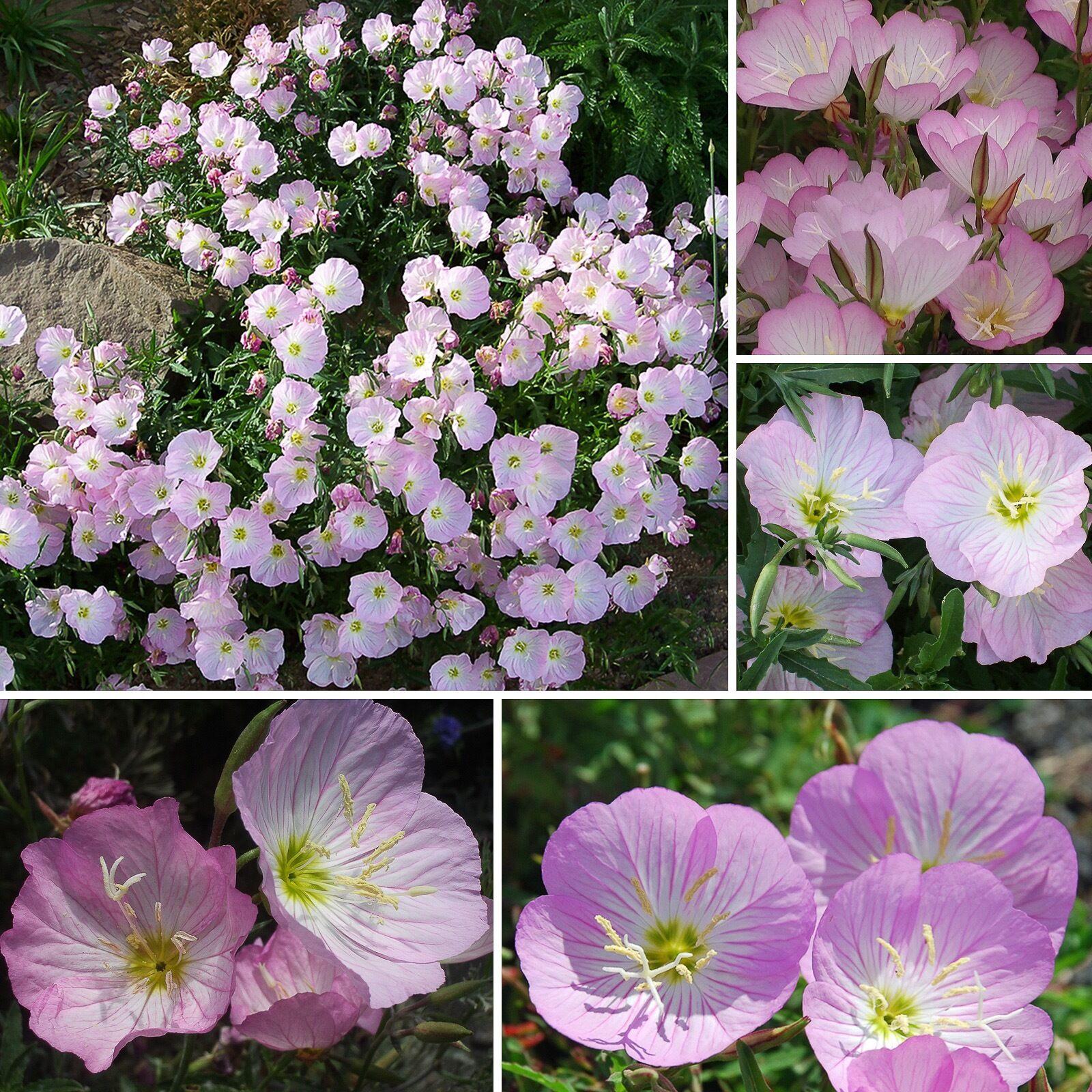 300+ Samen Duft Nachtkerze - Oenothera speciosa - winterhart - Primrose seeds