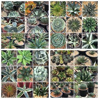 Agaves , Many rare and hard to find , starting $5