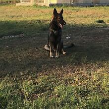 German Shepard s for sale $400 The Palms Gympie Area Preview