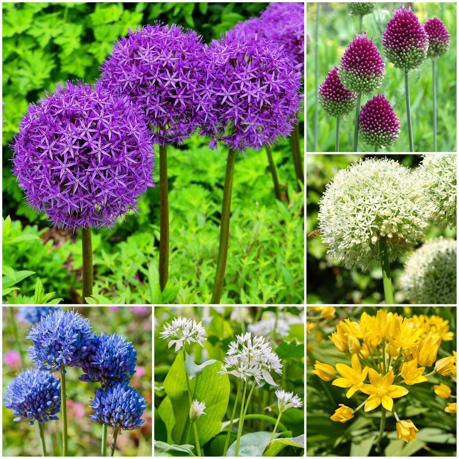 Spring Flowering Alliums Varieties Garden Perennial Bulbs Plants
