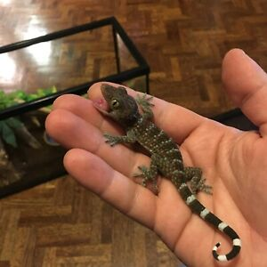 Beautiful Baby Tokay Geckos for Sale!!! (Captive Born)