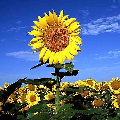 STRIPED SUPER TALL SUNFLOWER 25 SEEDS Helianthus MAMMOTH Heirloom USA Seller