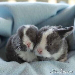 LILAC BURROWS - mini lop vienna rabbits Serpentine Serpentine Area Preview