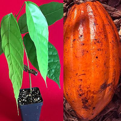 TRINITARIO Theobroma Cacao Cocoa Chocolate Fruit Tree Potted Plant RED -