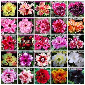Adenium Obesum  (desert rose) Double & Triple Multi Pack 10+2 seeds