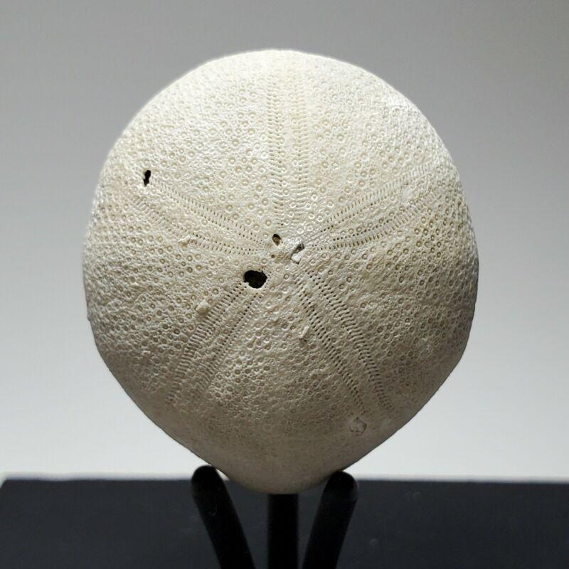 Echinolampas Appendiculata Echinoid Fossil Eocene Florida