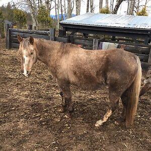 Companion mare