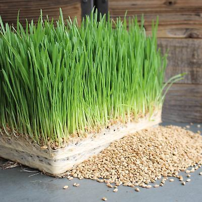 Ruby Grass - ORGANIC WHEAT SEED - HARD RED- WHEATGRASS, PET CAT GRASS, EMERGENCY FOOD STORAGE