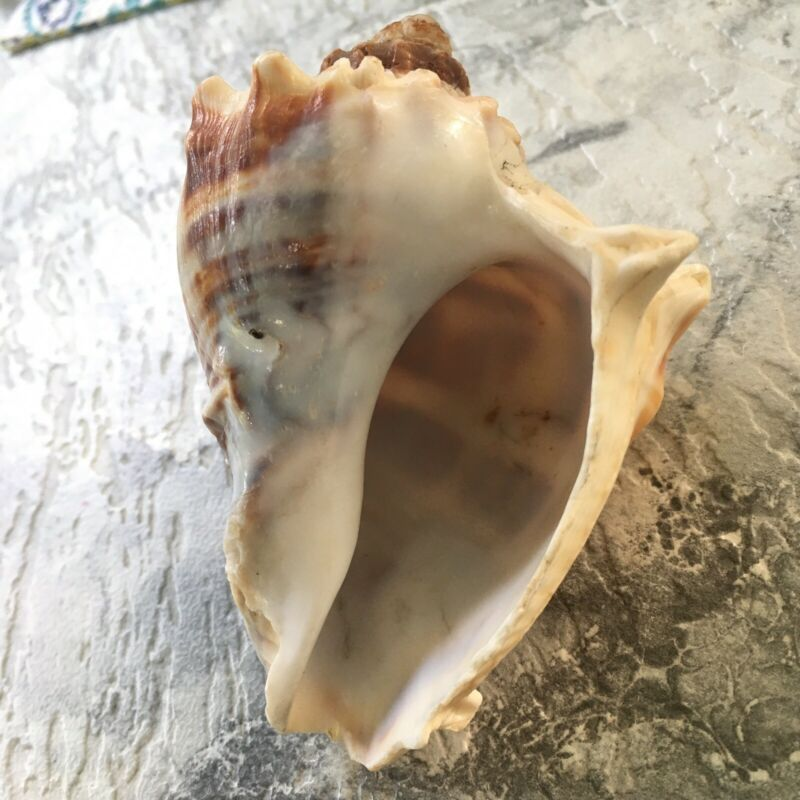 """FLORIDA FIGHTING CONCH STRIPED  BROWN AND WHITE SEASHELL 4"""" X 2"""" SEA SHELL NICE!"""