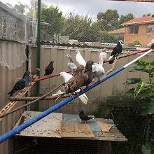 Iranian & Pakistan pigeons from $ 50 Rowville Knox Area Preview