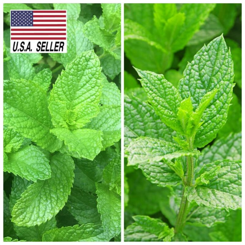 100+ seeds Mixed Mint mentha Peppermint + common Spearmint herb seeds NON-GMO !