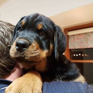 Registered Pure Bred Rottweiler Male NBT Nathalia Moira Area Preview