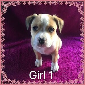 Purebred American Staffy Puppies Ipswich Ipswich City Preview