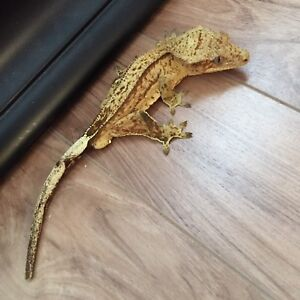 Male Crested Gecko with Tank