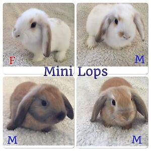 BABY BUNNIES Netherland Dwarf, Mini Lop and Lion Head