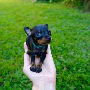 Prague Ratter small tiny breed puppy Brisbane City Brisbane North West Preview