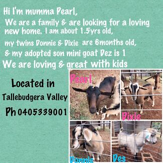 Pet goats looking for a new home