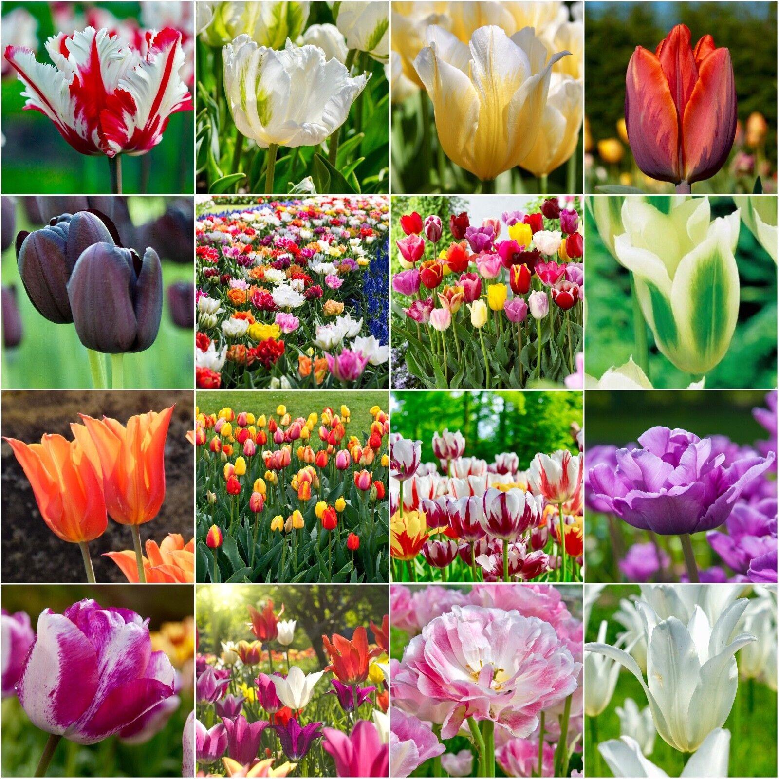 Details About Tulip Varieties Tulip Bulbs Border Spring Flowering Bulbs Plants Perennials