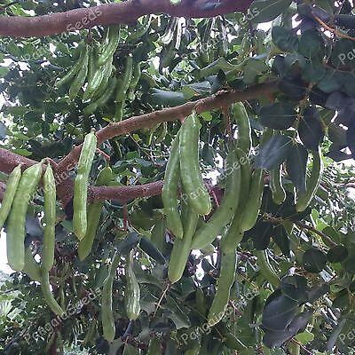 Tropics Natural Cocoa (Ceratonia siliqua 250+ Fresh Seeds Carob Tree Natural Chocolate Greek Variety )