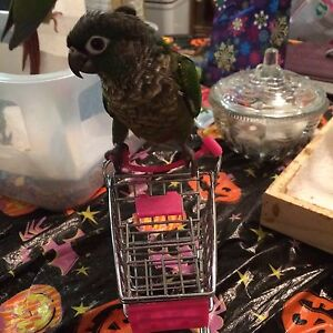 One Left! Hand Fed Conure Babies!