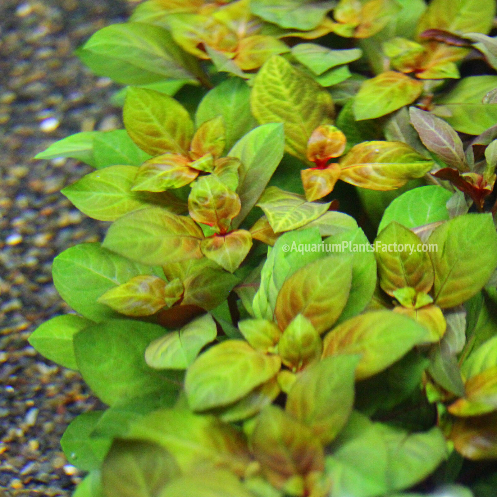 ludwigia repens rubin live aquarium plants java moss fern anubias aquascape pet buy. Black Bedroom Furniture Sets. Home Design Ideas