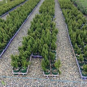 African Box grower direct plants for perth shrub Darch Wanneroo Area Preview