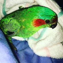 Musk Lorikeet Floreat Cambridge Area Preview