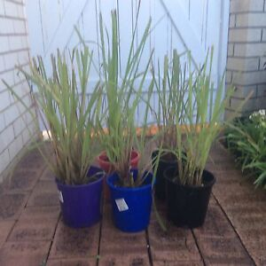 Lemon grass Stirling Stirling Area Preview
